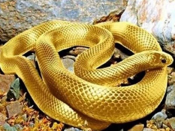 Mơ thấy rắn vàng đánh con gì và ý nghĩa giấc mơ là gì?