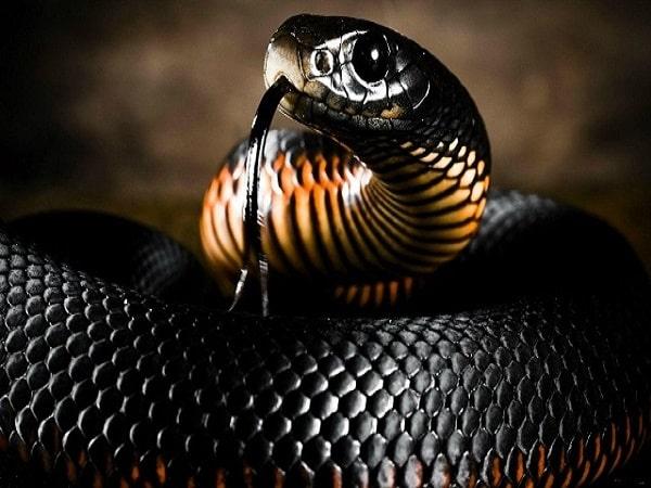 Mơ thấy rắn đen đánh con gì và điềm báo mơ rắn đen là gì