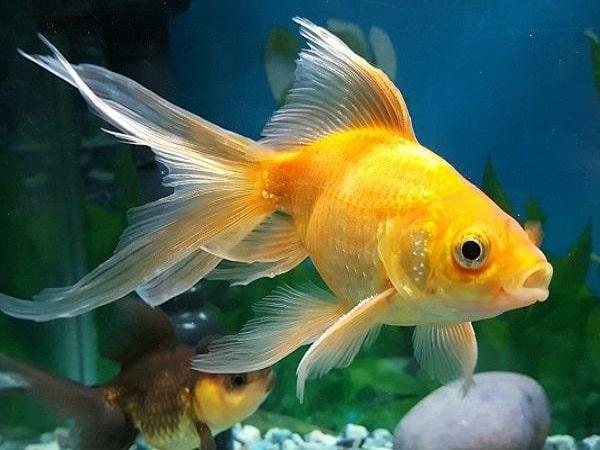 Mơ thấy cá vàng có điềm báo gì và đánh con số gì?