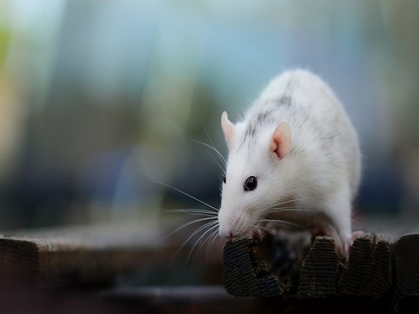 Mơ thấy chuột đánh con gì? giải mã chiêm bao thấy chuột?