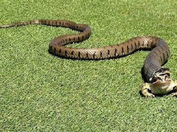 Mơ thấy rắn đuổi có điềm báo gì và đánh con số nào?