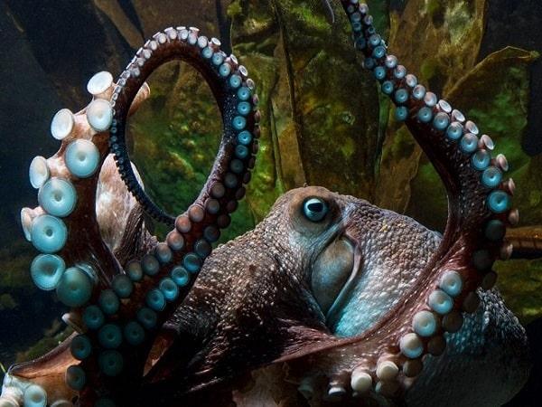 Mơ thấy bạch tuộc có điềm báo gì và đánh số nào?